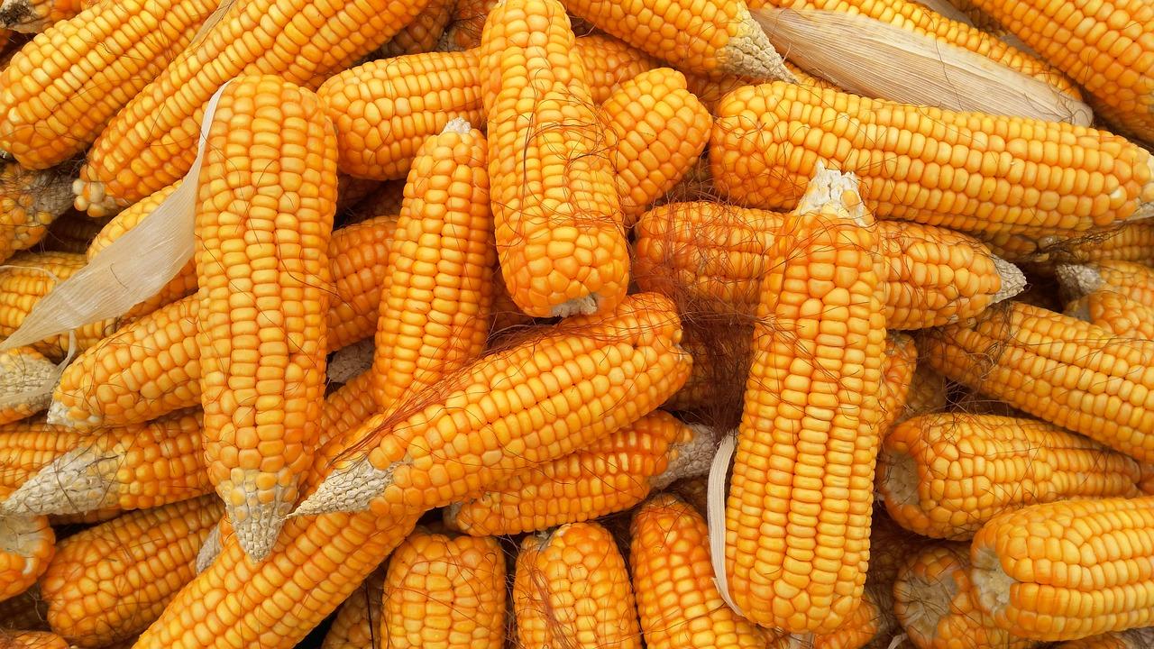 Kiszonka z kukurydzy: kilka faktów