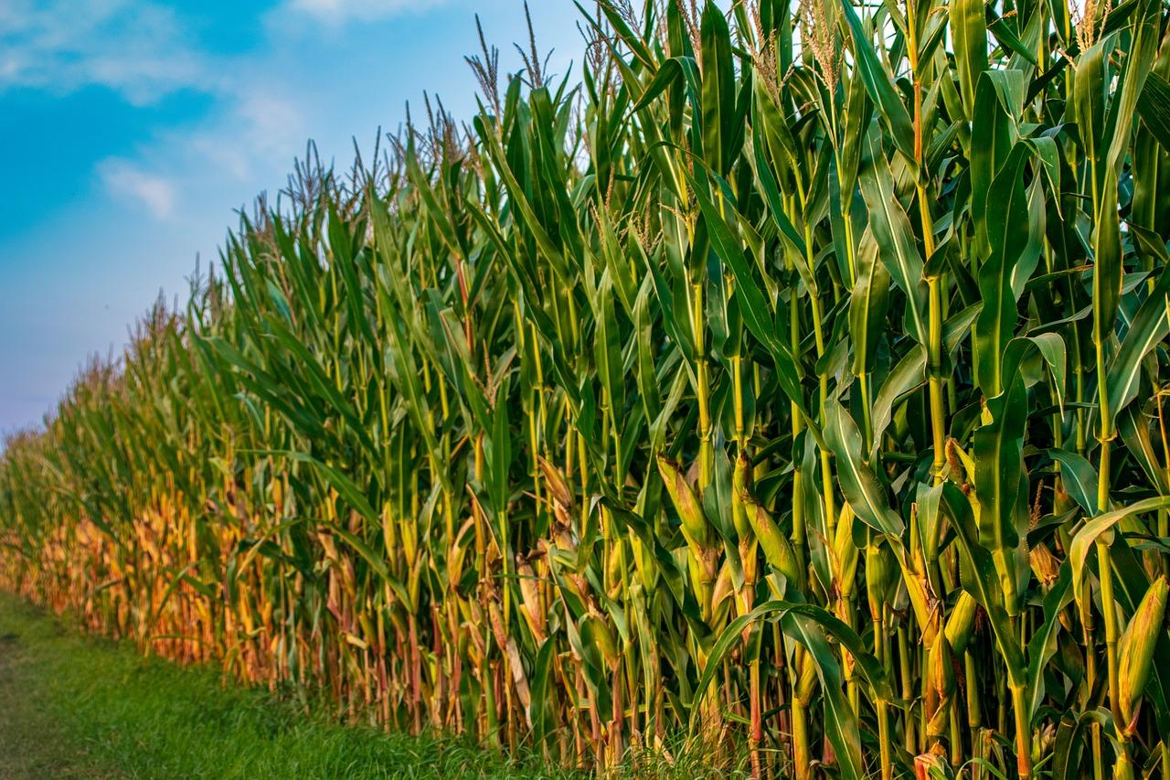 Kiszonki z kukurydzy doskonałym wyborem